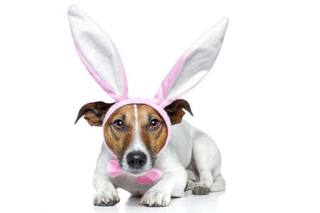 jack russell: dog dressed as a easter bunny Stock Photo