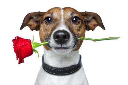dog sitting: dog with a red rose  Stock Photo