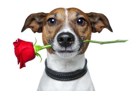 perros graciosos: perro con una rosa roja Foto de archivo