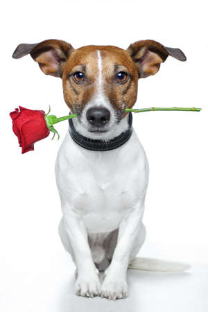 faithful: dog with a red rose  Stock Photo