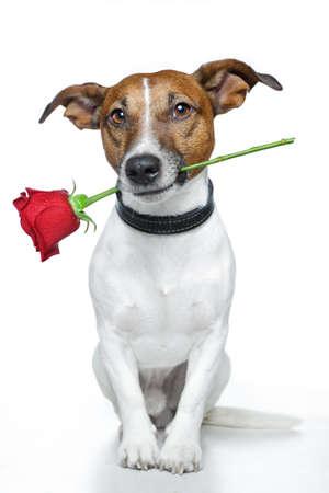 dogs sitting: perro con una rosa roja Foto de archivo