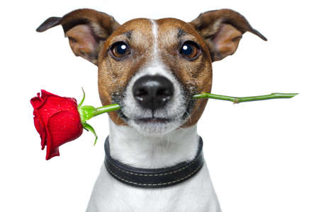 dog with a red rose  photo