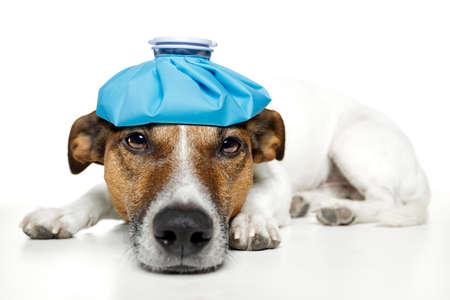 sick: perro malestar Foto de archivo