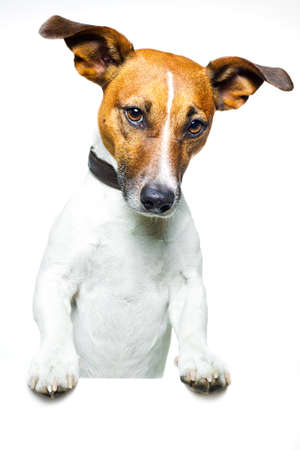 jack russell terrier: dog holding a white banner Stock Photo