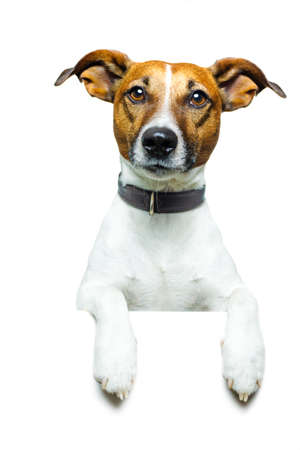 jack russell terrier puppy: dog holding a white banner Stock Photo