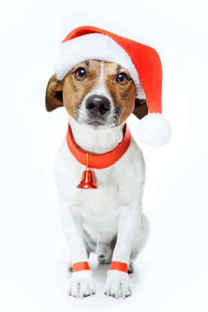 jack russell terrier puppy: dog dressed as santa