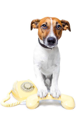 jack russel: doh on the phone Stock Photo