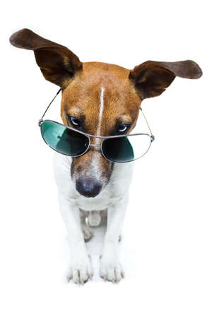 jack russell: dog with shades