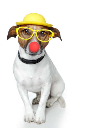 jack russel: dog with red nose and yellow hat