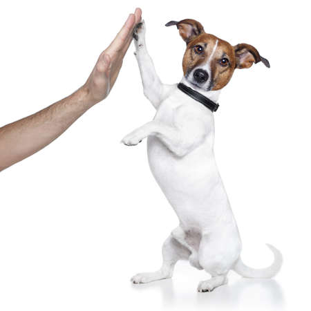 jack russell terrier puppy: dog high five