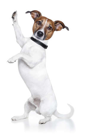 dog isolated: dog high five and posing