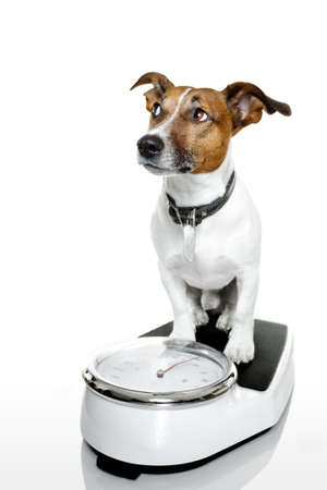 low fat diet: dog on a scale