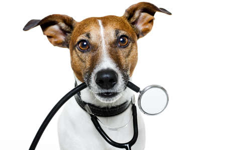 jack russell: dog with stethoscope  Stock Photo