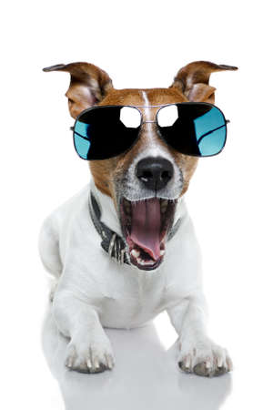 sleepy: dog with blue shades bored to tears Stock Photo
