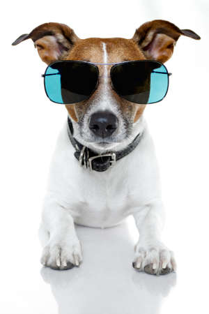jack russell terrier puppy: dog with shades