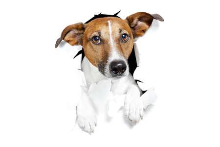 lagrimas: perro rompi� el papel blanco Foto de archivo