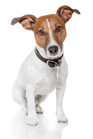obedecer: jack russell terrier en solitario