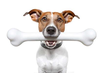 obedecer: perro con un hueso grande de color blanco Foto de archivo