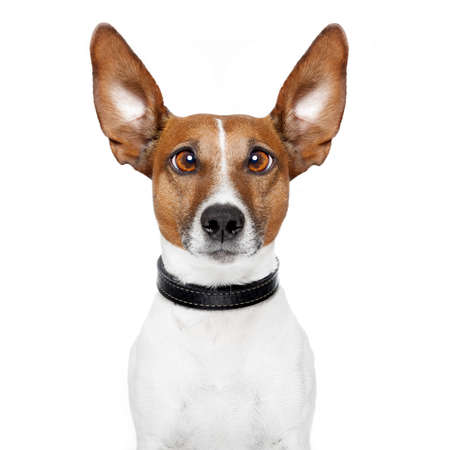 jack russell: crazy dog with big lazy eyes Stock Photo