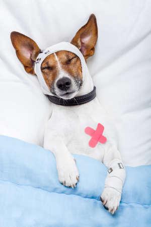 curitas: perro enfermo con vendas Foto de archivo
