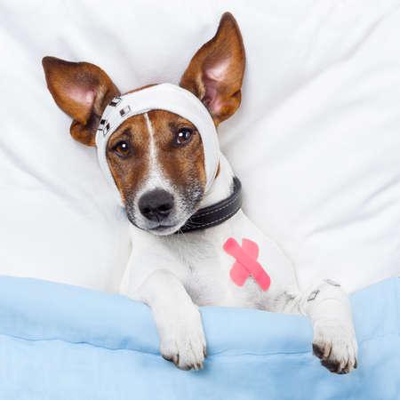 malade au lit: chien malade avec des bandages Banque d'images