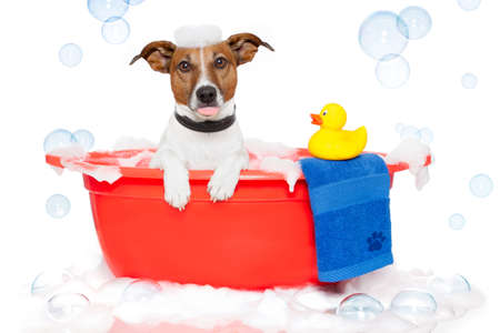 grooming: Dog taking a bath in a colorful bathtub with a plastic duck Stock Photo