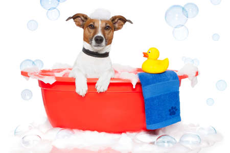 bathtubs: Dog taking a bath in a colorful bathtub with a plastic duck Stock Photo