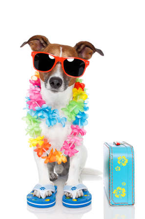 jack russell: tourist dog with hawaiian  lei and a bag