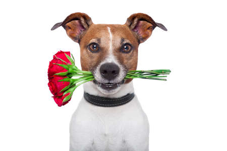 dog holding a bunch of  red roses Stock Photo - 14098774