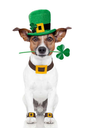 three leaf clover: st  patrick day dog Stock Photo