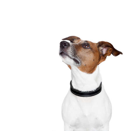 jack russell terrier: placeholder banner dog