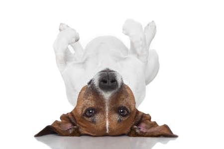 hond tot vaststelling ondersteboven op de rug Stockfoto