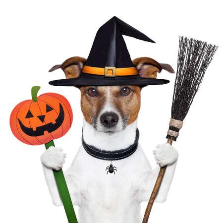 sorci�re halloween: chien citrouille halloween witch avec un balai Banque d'images