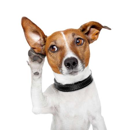 escuchar: perro escucha con el o�do grande Foto de archivo