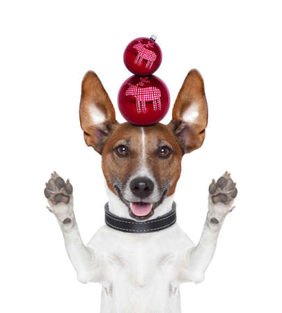 christmas balls dog paws and ears up Stock Photo - 16145957