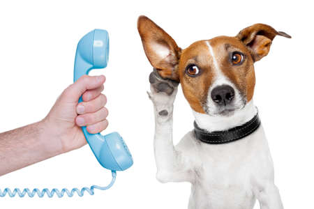 jack russell terrier: dog on the phone male hand listening carefully