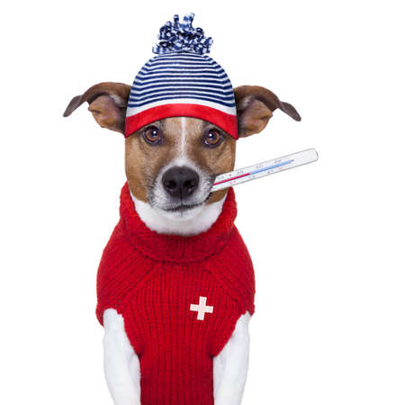 heal sickness: sick ill cold dog  with fever and hat Stock Photo
