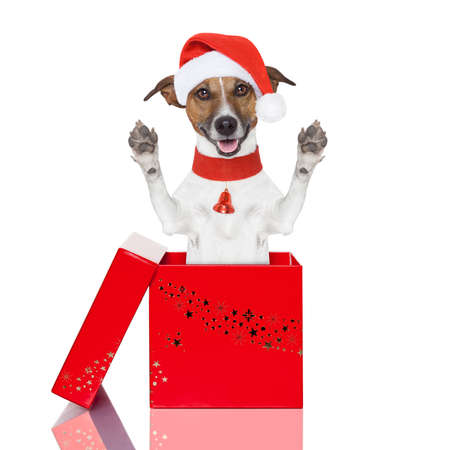 jack russell terrier puppy: surprise christmas dog in a red  box