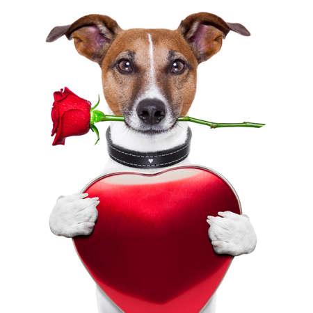 grappige honden: valentijn hond met rode roos en rood groot hart Stockfoto