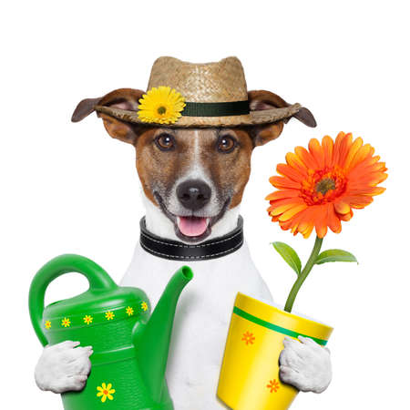watering: gardener dog with flowers and yellow pot