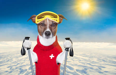 snow skiing dog with red wool sweater Stock Photo