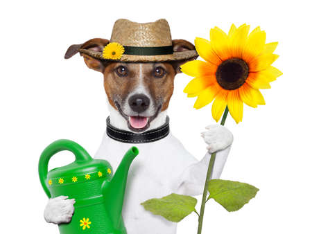 gardener dog with a big sunflower and a can
