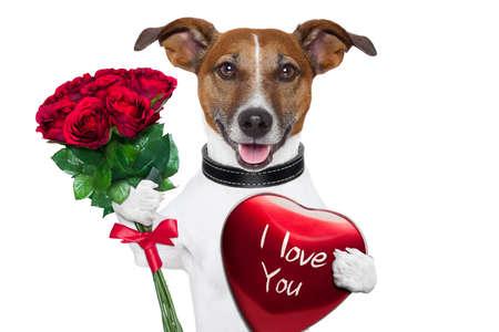 saint valentin coeur: chien valentine avec un bouquet de roses rouges et une boîte rouge présente