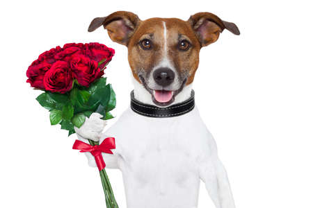 anniversary flower: valentine dog  with a bunch of  red  roses
