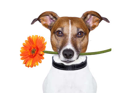 holiday pets: dog holding a gerbera flower on his mouth