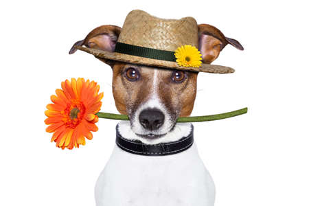 funny dog: dog holding a gerbera flower on his mouth