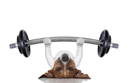 大きな重いダンベルを持ち上げてフィットネス犬 写真素材
