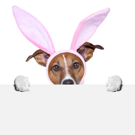 dog in costume: easter dog with  bunny ears holding a placard from behind