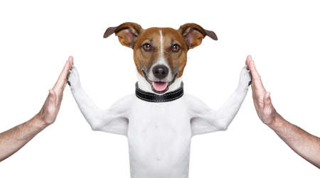 jack terrier: dog giving high five on both sides with male hands Stock Photo
