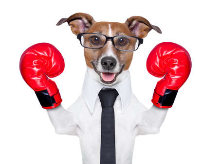 animal fight: boxing business dog with red boxing gloves
